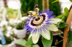 ดอกกระทกรก (Passion Flower)
